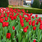 Tulip Bulbs - Red Power