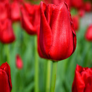 Wholesale Tulip Bulbs - Red Power