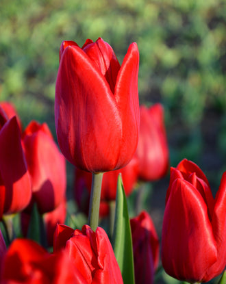 Tulip Red Power