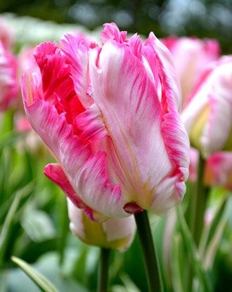 Tulip Parrot Pink Vision