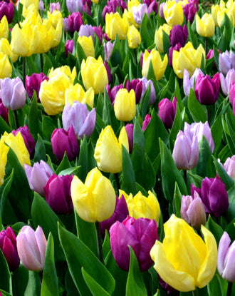 Tulip Phillie Pastel Mix