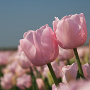 Dutch Tulip Bulbs Pink Diamond
