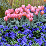 Tulip Bulbs Pretty Princess Pink Spring Bulbs USA