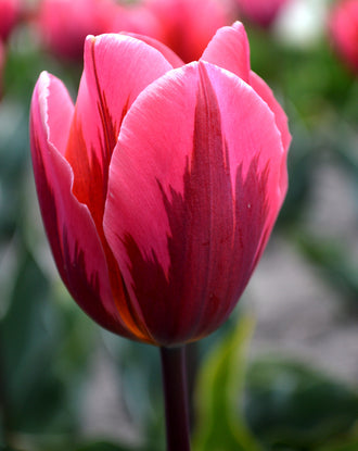 Tulip Pretty Princess Flower Bulbs Pink For Fall Planting USA