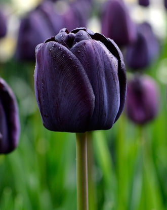 Tulip Queen of Night - The Black Tulip