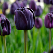 Black Tulip Queen of Night