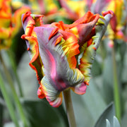 Tulip 'Rainbow Parrot' exclusive
