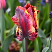 Tulip bulbs 'Rainbow Parrot'