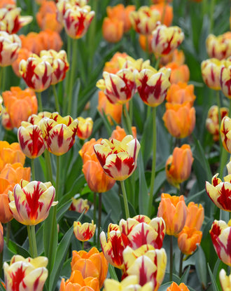 Tulip Rome Collection