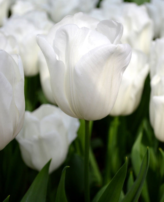 Triumph Tulip Royal Virgin White