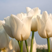 Tulip Royal Virgin White