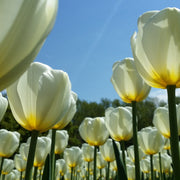 Tulip White Royal Virgin