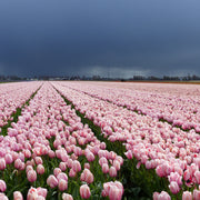 Tulip Field Salmon Impression
