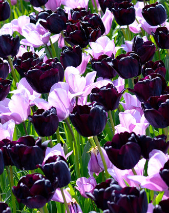 Purple tulip bulbs