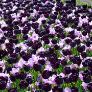 Wholesale Purple Tulip Bulbs