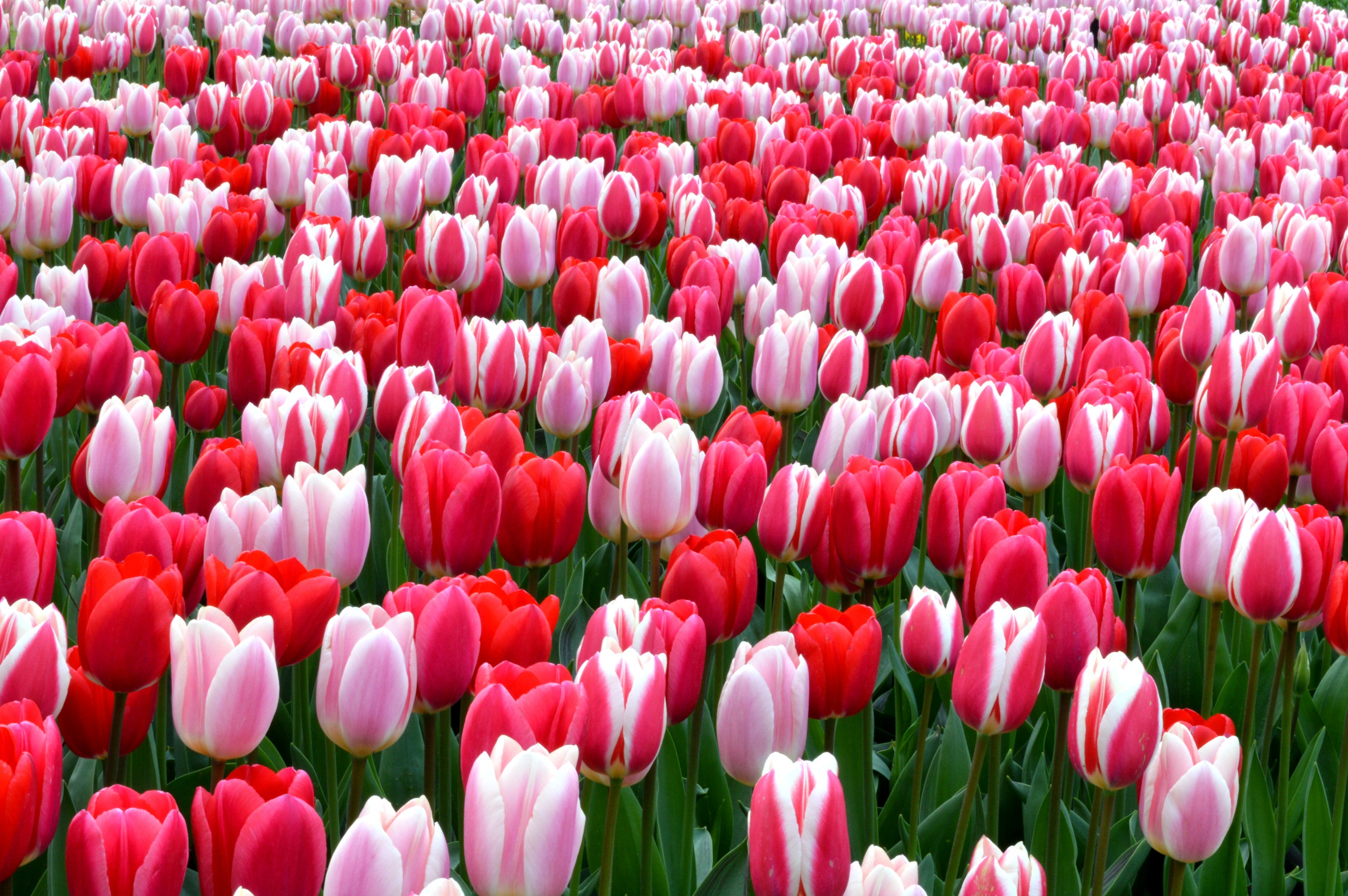Tulip Strawberry Fields Collection - Tulip Bulbs | DutchGrown Official