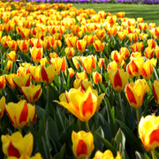 Wholesale Tulip Stresa
