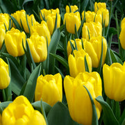 Tulip Bulbs - Strong Gold