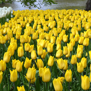 Wholesale Tulip Strong Gold