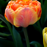 Wholesale Tulip Sunlover