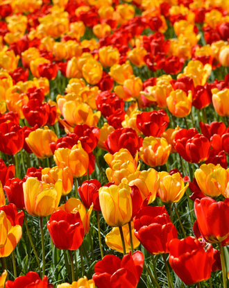 Darwin Hybrid Tulip Bulbs - Red + Yellow