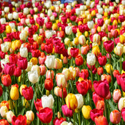 Wholesale Single Late Tulip Bulb