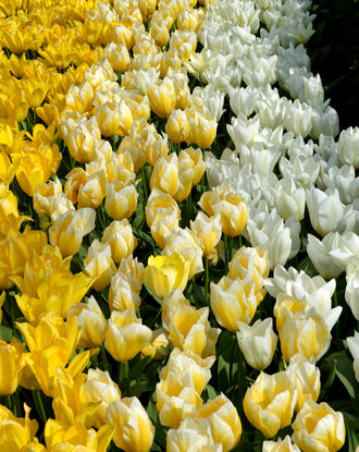 Emperor Tulip Bulbs - Yellow and white