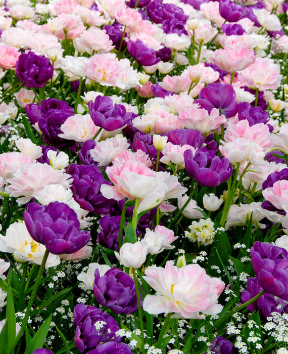 Tulip Bulbs - purple and light pink