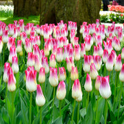Wholesale Tulip Bulbs - Whispering Dream