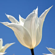 Tulip Bulbs - White Triumphator