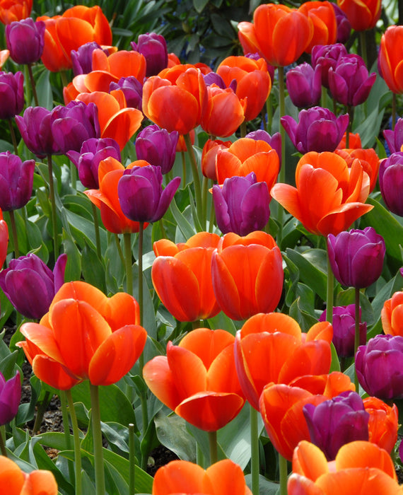 Purple and Orange Tulip Bulbs