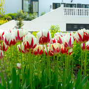 Tulip Bulbs - World Expression