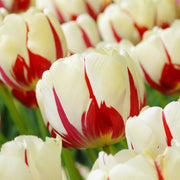 Tulip Flower Bulbs  - World Expression