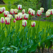 Wholesale World Expression Tulip Bulbs