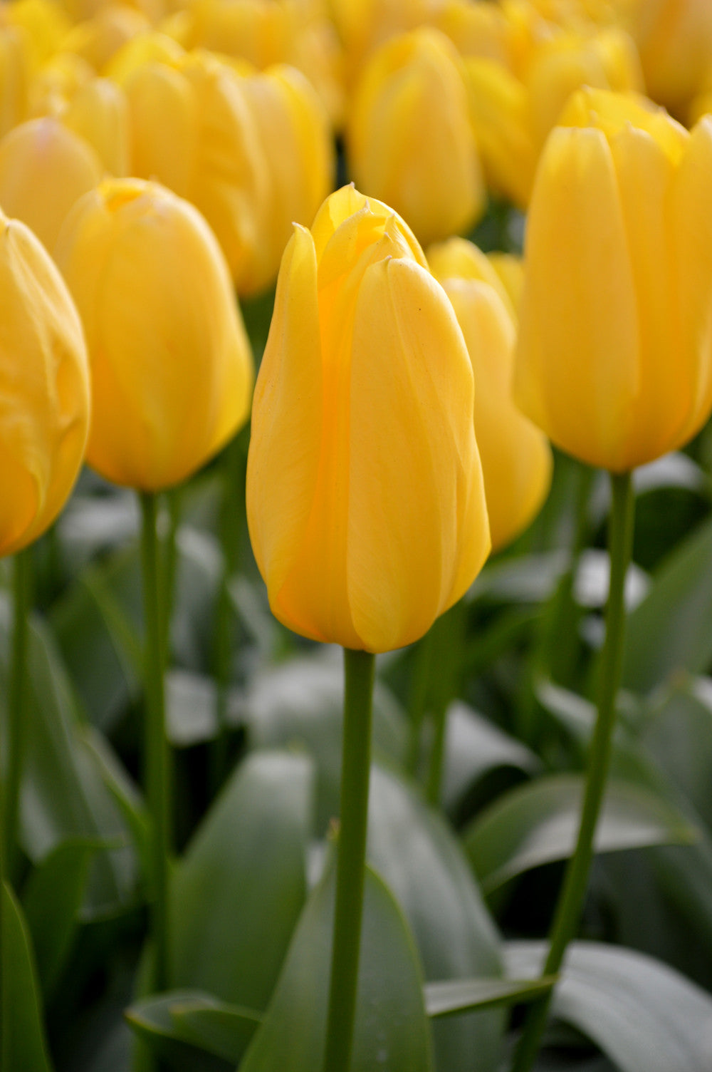 Tulip Yellow Emperor Flower Bulbs Dutchgrown