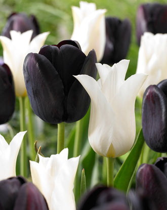 Black and white tulip bulbs