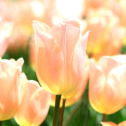 Tulip Bulbs Giant Apricot Beauty