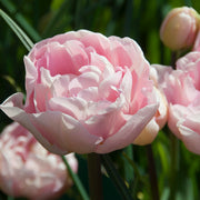 Best Pink Peony Tulip named Dreamer