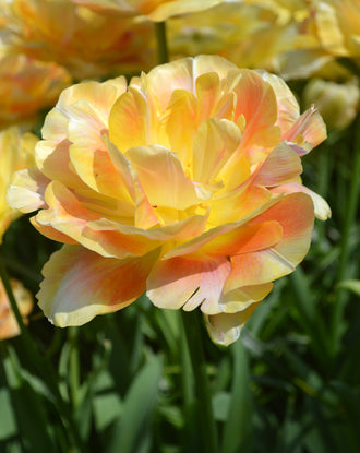 Peach Double Peony Tulip Bulbs For Fall Planting Called Charming Beauty