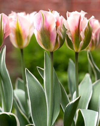 Green, Pink, White Viridiflora Tulip Bulbs China Town