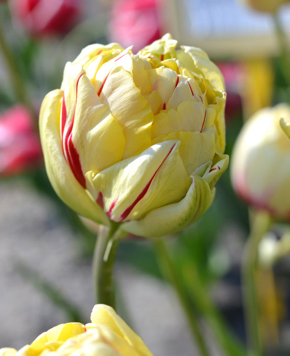 Double Late Peony Tulip Glamour Unique Creamy Yellow and red stripes