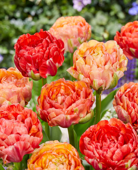 Tulip Gudoshnik Double - Peony Tulip Red and Yellow