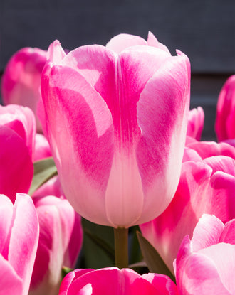 Tulip Innuendo, huge tulip flower bulbs pink and white