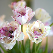 Tulip Jonquieres - French Tulip - Double Peony Pink - Tulip Bulbs