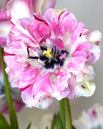 Exclusive Unique Tulip Bulbs Jonquieres - Pink/White/Cherry
