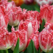 Fringed Pink and White Tulip Bulbs Neglige