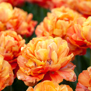 Tulip Olivia - Peony Double Orange, Brown Tulip Bulbs for Fall planting, Spring blooming