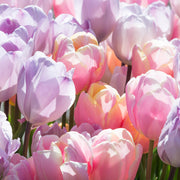 Tulip Perfect Pastel Collection™
