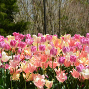 Tulip Perfect Pastel Collection - Tulip Bulbs