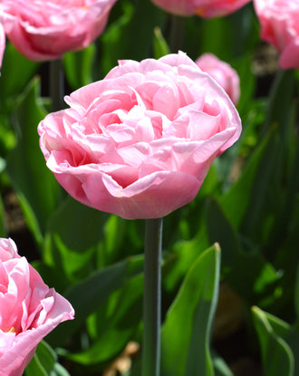 Peony Tulip Perfect Wedding Pink